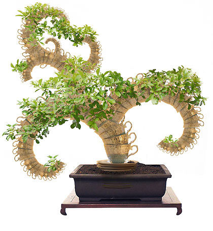Bonsai Tea Tree