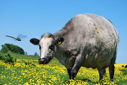 Overweight cow and dragonfly